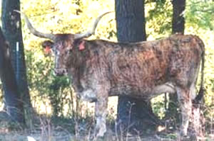 Safari B  1664, Longhorn Cow